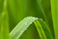 Morning dew on green blade Stock Photo