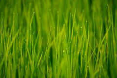 Morning dew on grass. Morning dew on green grass, closeup Stock Photos