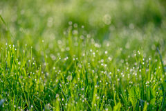 Morning dew on green grass Stock Photography