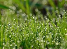 Morning dew on the green grass Royalty Free Stock Image