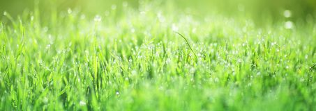 Morning dew on the green grass. Drops of dew on a bright green grass, sun glare on a blurred background Stock Image