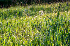 Morning dew on green grass Royalty Free Stock Images