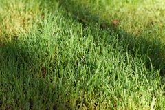 Morning dew on the green grass lawn. Summer Stock Photography