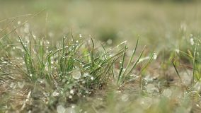 Morning dew on green grass. At the natural morning sunlight. Abstract fresh, green grass background with blurred bokeh lights effect. Water drops close up stock footage