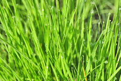 Morning dew on green grass Royalty Free Stock Photo
