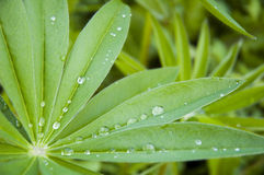 Morning dew on green leaves Royalty Free Stock Images