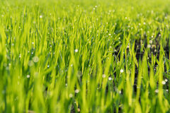Morning dew on the green shoots of oats royalty free stock photo