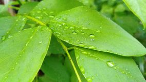Morning dew in the green tropic leaves stock image