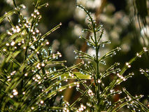 Morning dew on horsetail. Royalty Free Stock Photos