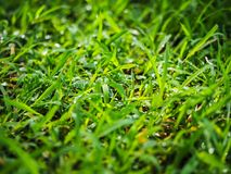 Morning Dew. Leaves of Grass with Morning Dew Royalty Free Stock Photo