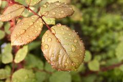 Morning dew on the leaves of the pink Bush. Close up.  stock photography