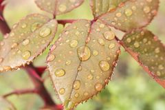 Morning dew on the leaves of the pink Bush. Close up.  stock images