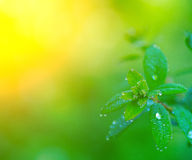 Morning dew on the leaves Stock Photos
