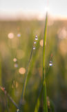 The morning dew. Macro of dew drops on blades of grass in bright morning sunlight Royalty Free Stock Photography
