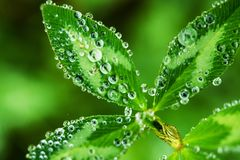 Morning Dew in Macro. Morning Dew on the Tiny Plants in Macro Photography royalty free stock images