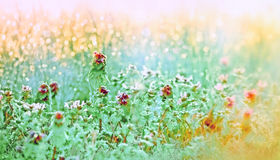 Morning dew on the meadow flowers and grass. Spring grass, flowers and dew illuminated by the morning sun stock photos
