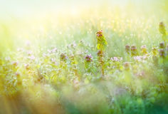 Morning dew in meadow - in spring Royalty Free Stock Images