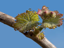 Morning dew on new shoot on grapevine, vineyard Italy. Springtim Stock Image