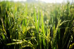 Morning dew at paddy field royalty free stock photography