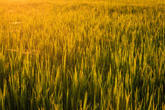 Morning Dew in Paddy Field Royalty Free Stock Images