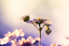 Morning dew on the petals of camomile Stock Photo