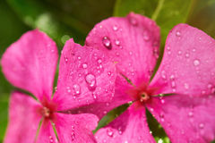 Morning dew on pink flower Stock Images