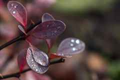 Dew drops. Morning dew on the plant in soft focus. Shallow depth of field royalty free stock images
