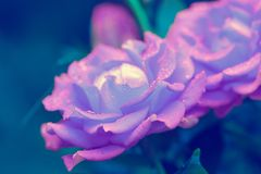 Morning dew on purple roses. In the garden stock image
