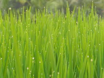 Morning dew in rice field sunrise time Stock Photo