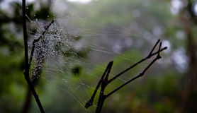Morning dew. Shining water drops on spiderweb over green forest Stock Image