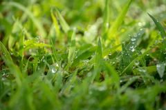 morning dew soaked the fresh green grass that was exposed stock images