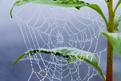 Morning dew in spider web Stock Image