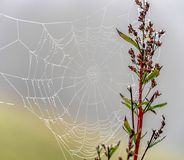 Morning dew on cobweb Royalty Free Stock Photo