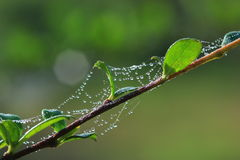 Morning dew on spider webs. Royalty Free Stock Photos