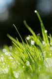 Morning dew on spring grass, Stock Photography