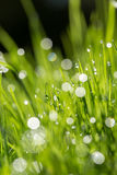 Morning dew on spring grass, Royalty Free Stock Photo
