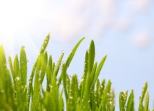 Morning dew on spring green grass Royalty Free Stock Images