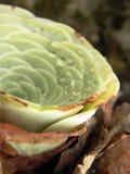 Succulant plant: greenovia aurea, crassulaceae Royalty Free Stock Images