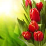 Morning dew on tulips Stock Photo