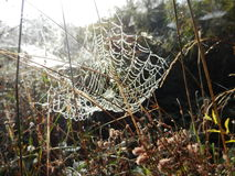 Morning dew water drops on a spider web on a plant Royalty Free Stock Image
