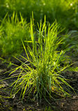 Morning dew on young grass tussock Stock Photos