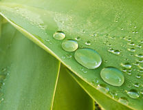 Morning Dewdrops On Agave Leaf Royalty Free Stock Photo