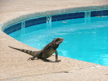 A morning Dip. An iguana poised to go swimming Royalty Free Stock Photos