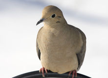 Morning Dove Royalty Free Stock Photo