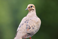 Morning dove Royalty Free Stock Photography