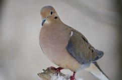 Morning Dove Royalty Free Stock Photo