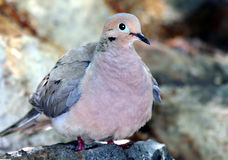Morning Dove Stock Photography