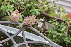 Morning dove couple Stock Photos