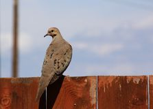 Morning Dove on a fence Stock Image