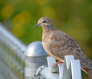 Morning Dove. On a fence greeting the setting sun Stock Photography